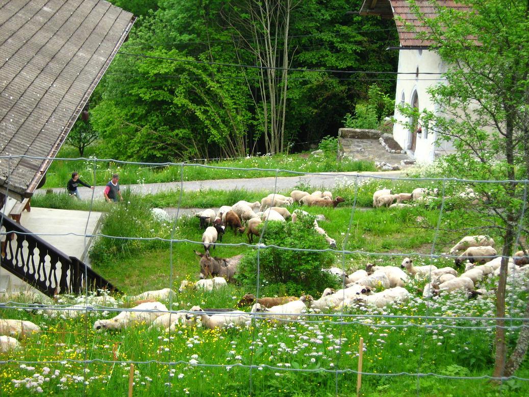 Arrivée de 220 moutons àChéron le 27/05/2008.