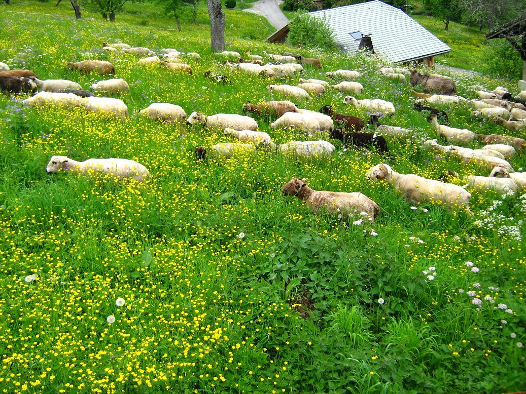 Une partie des moutons.